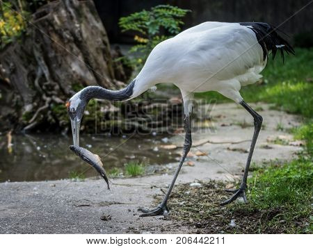 The red-crowned crane eating a fish. The red-crowned crane or Manchurian crane is a large East Asian crane among the rarest cranes in the world. In some parts of its range it is known as a symbol of luck longevity and fidelity.