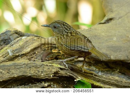 beautiful Streaked Wren Babbler (Napothera brevicaudata) in Thai forest