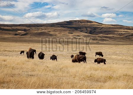 Herd of Buffalo in Southern Alberta Canada Under Blue Sky