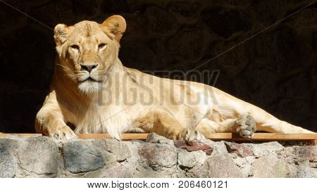 The lioness is resting on an autumn sunny afternoon at the zoo