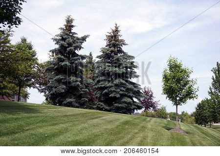 A pair of blue spruce trees (Picea pungens) grow together on a hill in the Wesmere Country Club subdivision of Joliet, Illinois, during June.