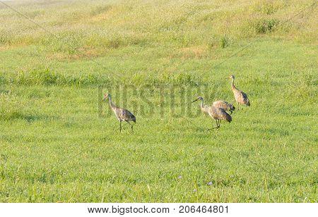 Sandhill cranes in a field in Michigan