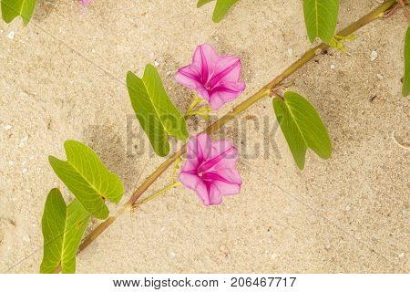 Beach morning glory flower blooming on the beach.