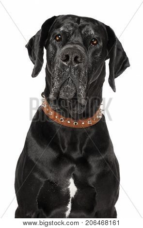 Great Dane On White Background