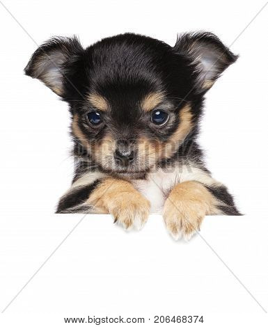 Chihuahua Puppy Above Banner