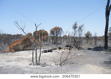 Rome's castel fusano pinewood after the terrible blaze which devasted It