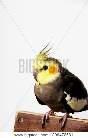Cockatiel perched on a hand, isolated on white
