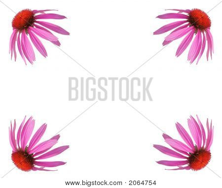Echinacea Background