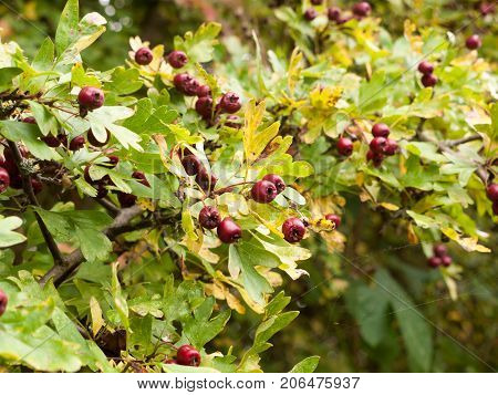 Lush Red Ripe Hawthorn Berries Outside On Tree With Leaves