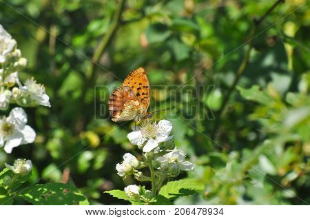 Brenthis daphne, Marbled Fritillary butterfly collecting nectar on wild flowers.  Butterfly on a wild roses flowers