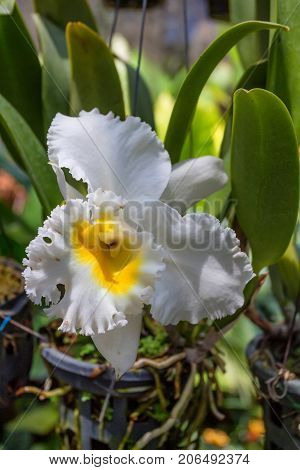 Beautiful lush white and yellow orchid flower blooming in tropical climat