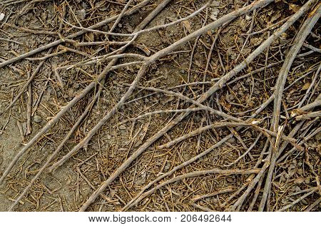 Dry branches of a tree on the ground. Felled tree. Dry branches texture background