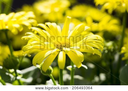 Close-up of beautiful blooming Flowers in Spring. View on yellow Flowers on a Meadow. Blooming Spring Flowers. Garden Flowers. Flower and Nature Background.