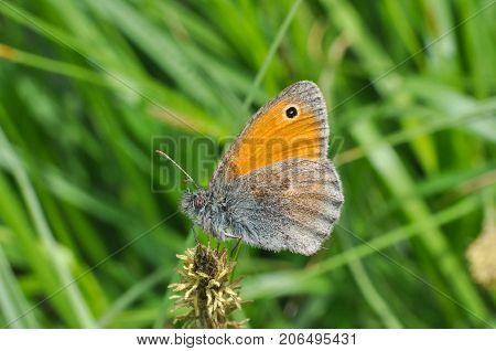 The Small Heath butterfly, Coenonympha pamphilus, in grass. Small butterfly in meadow