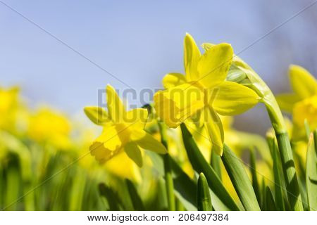 Close-up of beautiful blooming Daffodils in Spring. View on amazing Daffodil (Narcissus ) Flowers on a sunny Day. Yellow Daffodils on a Meadow. Blooming Spring Flowers. Garden Flowers. Flower and Nature Background.