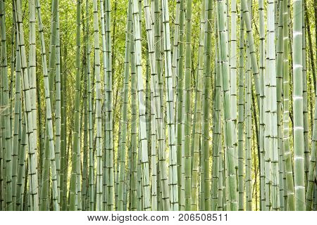 Abstract background and texture with natural green bamboo trees