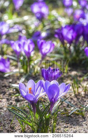 Beautiful color crocuses blooming in spring park in Szczecin