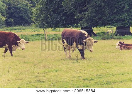 Bull with family in farmers field close to lacock villageWiltshire England UK