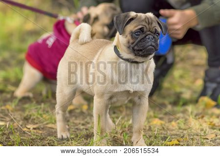 Pug breed of small dogs. Space under the text. 2018 year of the dog in the eastern calendar. Concept: parodist dogs, dog friend of man, true friends, rescuers.