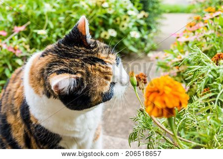Closeup Portrait Of Calico Cat Outside Smelling Sniffing Orange Marigold Flowers In Summer Garden On