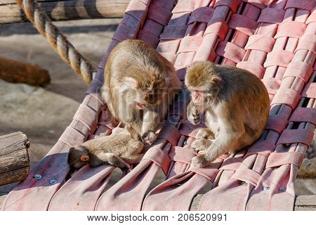 Monkeys Family Sits In A Hammock In The Trees