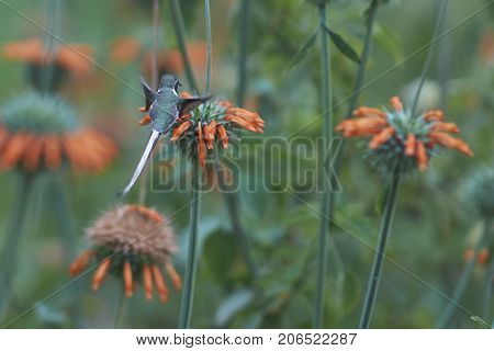 Peruvian Sheartail Hummingbird (Thaumastura cora) in flight, feeding on orange flowers at the Hummingbird Sanctuary in the Azapa Valley near Arica in northern Chile.