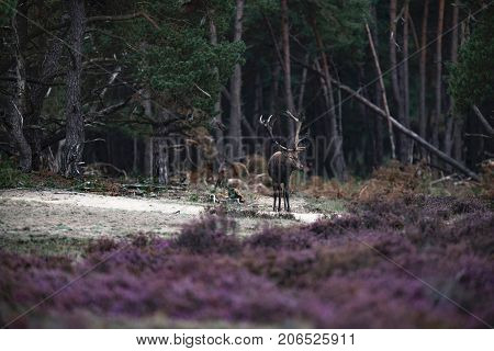 Red Deer Stag (cervus Elaphus) With Antlers In Mud Walking Out Forest.