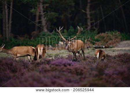 Red Deer Stag (cervus Elaphus) Chasing Hind In Rutting Season.