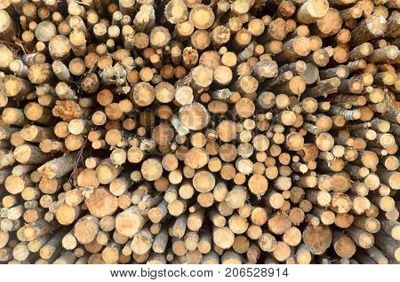The felled logs of the trees in the sawmill are stacked