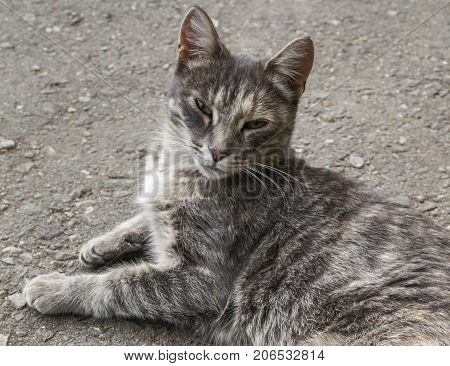Cat lay on the road. Cat rests. Gray cat. Pet on the street. Homeless animal. Portrait of a Gray Cat