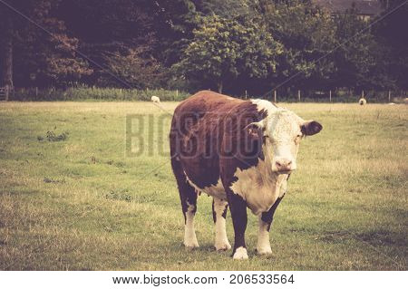 Cow in English countryside close to Lacock village Wiltshire England UK