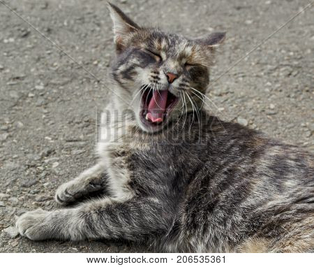 Cat lay on the road. Cat rests. Gray cat. Pet on the street. Homeless animal. Portrait of a Gray Cat. Sleepy cat. Yawning cat