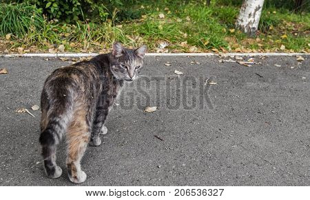 Cat is walking along the road. Gray cat. Pet on the street. Homeless animal. Portrait of a Gray Cat. Cat turned around. Cat male. Sly cat