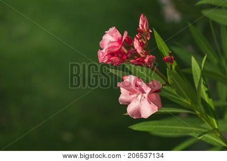 Oleander rose bay flower on green background, close up
