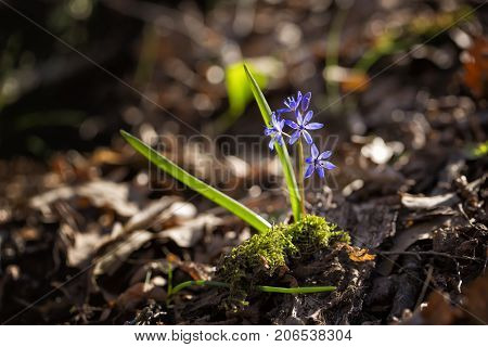 Scilla bifolia in forest macro close up