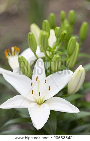 White Lilium flower on green background. Close up
