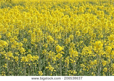 Field of bright yellow rapeseed in spring. Rapeseed (Brassica napus) oil seed rape