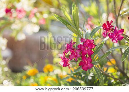 Flower sunny frame from Nerium oleander flower