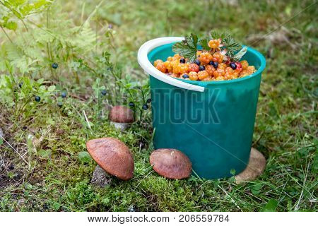 Picking mushrooms and berries. Redhead cloudberry and blueberry
