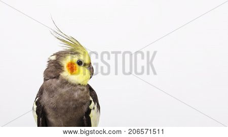 Portrait of a grey cockatiel Nymphicus hollandicus in front of white background