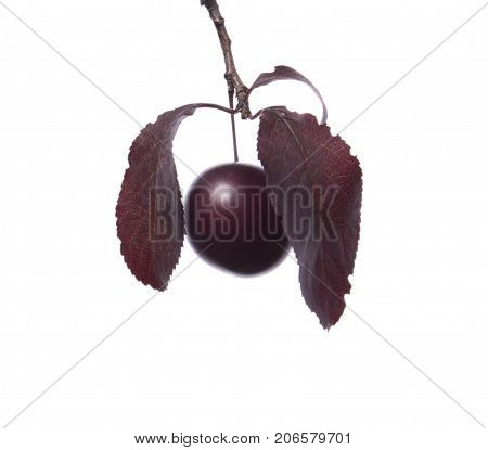 Organic, fresh and dark red autumn leaves with two decorative plums, isolated on a white background. Beautiful branch with dark leaves and with the plum. Bright purple leaves. Burgundy plum leaves.