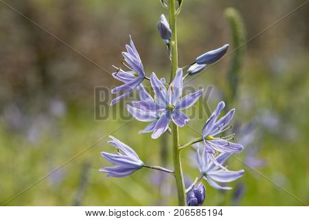 Closeup of a Common Camas Flower in stages of bloom