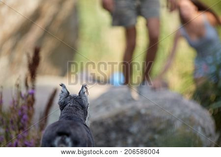 Horizontal picture of one female miniature schnauzer dog. Healthy pet breed in a beautiful gray color stand outdoors. Walikng puppy, summer outdoors.