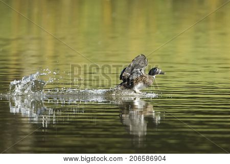 A female wood duck makes a splashy landing in the pond at Cannon Hill Park in Spokane Washington.