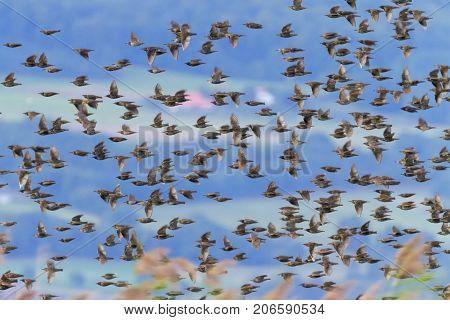 European or common starling, sturnus vulgaris, bird flock flying by day, Neuchatel, Switzerland