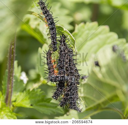 somw peacock butterfly caterpillars on stinging nettle leaves
