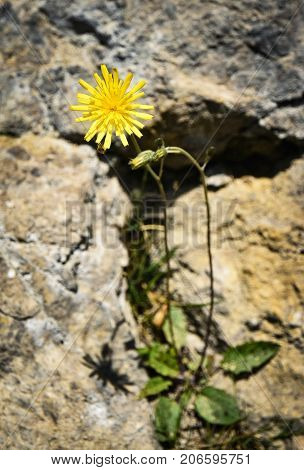 nature seasonal background yellow flower on the rock