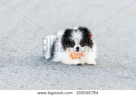 puppy dog running at morning. pomeranian dog running exercise on the street park in the morning; Healthy dog.