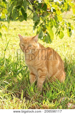 Ginger tabby cat sitting in the shade of a tree