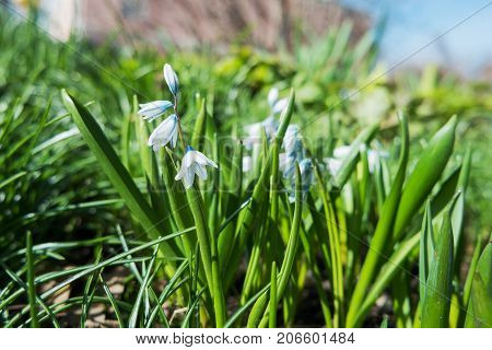 Scilla mischtschenkoana makes the way through fallen leaves. Natural spring background. Moscow Russia.
